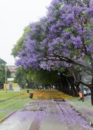 Jacunda Trees, Buenos Aires
